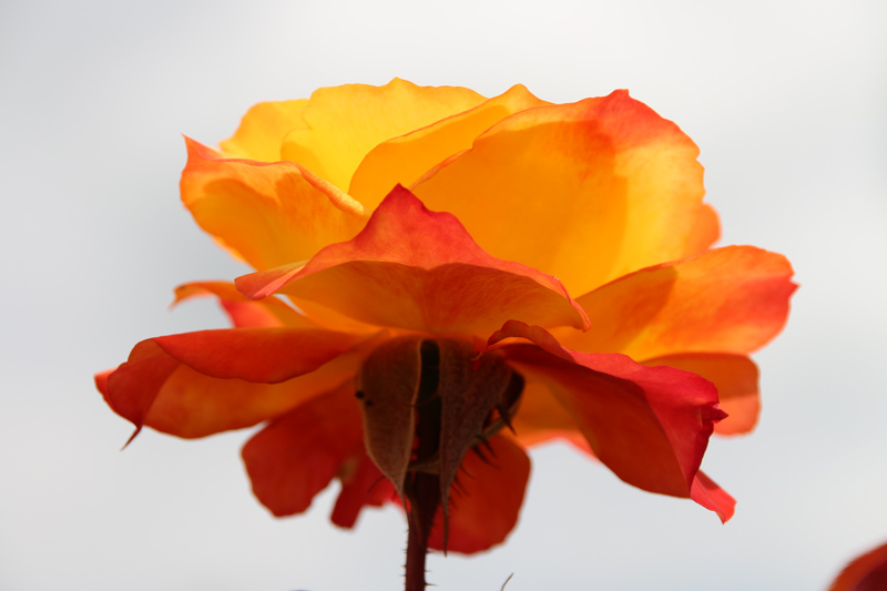 Flaming Peach Rose